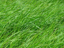 Green grasses blowing in the grass field on windy day Stock Photos