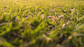 Green Grasses In-close Up Photography Royalty Free Stock Image