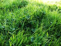 Green grasses and dew Stock Photo