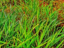 Green grasses. And drop of dew royalty free stock photo