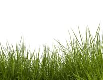 Green grasses. On white background stock photography