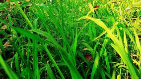 Green grasses. In morning sunlight royalty free stock image