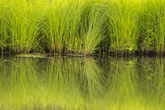 Green Grasses Stock Images
