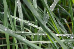 Green Grasses with sparkling raindrops. Green Grasses sparkling with summer raindrops. Lawn. Closeup. Perennial vegetation. Front yard. Back Yard stock photography