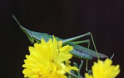 Green grasshoper Stock Photography