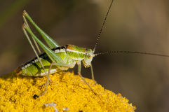 Green Grasshoper Royalty Free Stock Photography