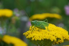 Green grasshoper Royalty Free Stock Photos