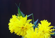 Green grasshoper and flowers Royalty Free Stock Images