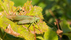 Green grasshoper in a garden Royalty Free Stock Images