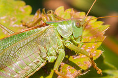 Green grasshoper in a garden Stock Photography