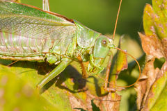 Green grasshoper in a garden Royalty Free Stock Photography