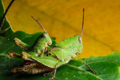 Green grasshoper on leaf Stock Images