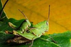 Green grasshoper on leaf Stock Images