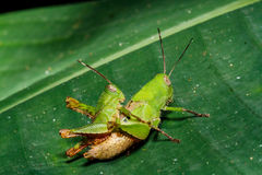 Green grasshoper on leaf Royalty Free Stock Images