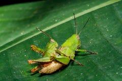 Green grasshoper on leaf Royalty Free Stock Images