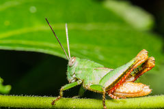 Green grasshoper on leaf Stock Photos