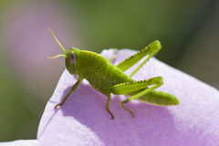 Green grasshopper Royalty Free Stock Photo