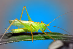 Free Green Grasshopper Royalty Free Stock Photos - 15176608