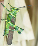Green Grasshopper 2 Stock Photo