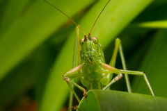 Green grasshopper. Curiously looking into the camera Royalty Free Stock Photos