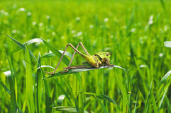 Green grasshopper Stock Image