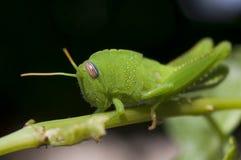 Free Green Grasshopper Stock Photos - 25521313