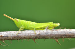 Green grasshopper. A Green grasshopper - insect standing on the stick Royalty Free Stock Photo