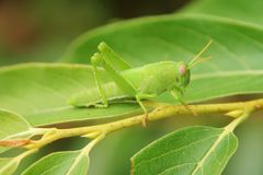 Green grasshopper Stock Photos