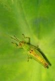 Green Grasshopper. Grasshopper on Leaf Royalty Free Stock Images