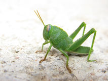 Free Green Grasshopper Stock Photography - 6171262