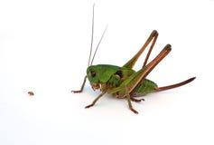 Free Green Grasshopper Stock Photography - 7113702