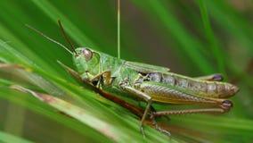 Free Green Grasshopper Royalty Free Stock Photo - 75960525