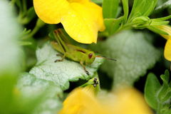 Green Grasshopper and Ant. A green grasshopper visiting with an ant. Sitting on green leaves and shaded by yellow flowers Royalty Free Stock Photography