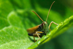 Green grasshopper. Grasshopper on green background with blurred background Royalty Free Stock Photo