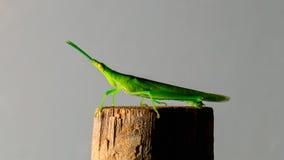 Green grasshopper on bamboo stick Stock Image