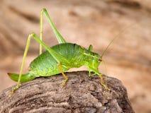 Green grasshopper on bark Stock Photos
