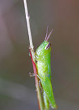 A green grasshopper Royalty Free Stock Image