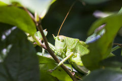 Green grasshopper behind tree leaves Royalty Free Stock Images