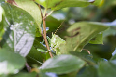 Green grasshopper behind tree leaves Stock Images