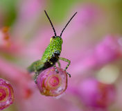 Green grasshopper with black dot hanging pink flower Stock Image