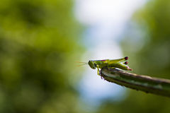 Green grasshopper on a branch. Green grasshopper standing on a branch royalty free stock images