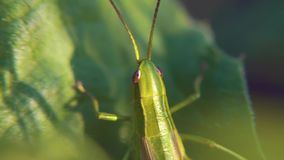 A green grasshopper with a brown back sitting on a flat leaf of grass. Close up Green Grasshopper hid among the summer