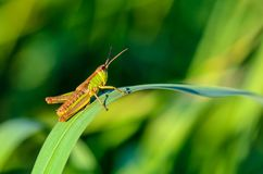 Green grasshopper with a brown back Stock Photography