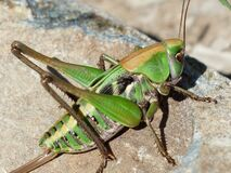 Green Grasshopper on Brown Stone Royalty Free Stock Photography