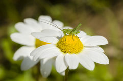 Green grasshopper on chamomille flower Stock Photography