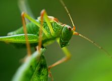 Green Grasshopper Close Up Photo Stock Images