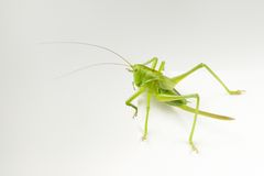 Green Grasshopper Close-Up on Sheet of Paper Royalty Free Stock Photography