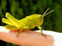 Green Grasshopper 2 Stock Photography