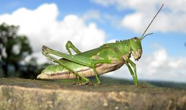 Green Grasshopper with Clouds Stock Photo