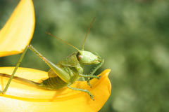 Green grasshopper collects pollen from a flower Royalty Free Stock Photo